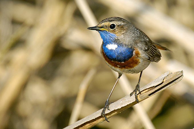 Blaukehlchen - Foto: Tom Dove